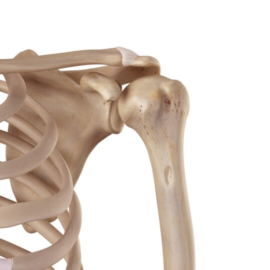 Acromioclavicular (AC) Joint Sprains and Dislocations